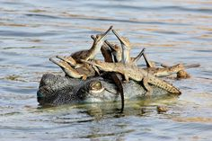 Taken from a distance, of course. crocodile-family-gathering