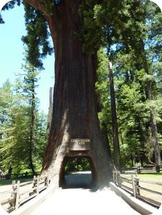 drive-thru trees // redwoods // california