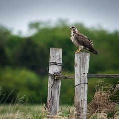 Red-tailed Hawk by Glendon Rolston