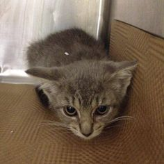 *one of the 48 cats/kittens to be destroyed tomorrow* http://www.urgentpetsondeathrow.org/cats/tbd-cats/ Manhattan Center My name is COLLEEN. My Animal ID # is A1015986. I am a female gray domestic sh. The shelter thinks I am about 7 WEEKS old. I came in the shelter as a STRAY on 10/01/2014 from NY 10471, owner surrender reason stated was STRAY.