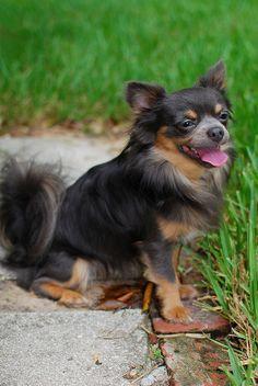 Chihuahua Chihuahuas #chihuahua #chihuahuas