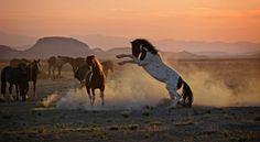 "Photo ""WildMustangsfightatsunset."" by Deeb"