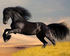 friesian horse jumping