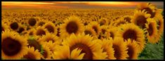 Sunflowers, Facebook cover photo