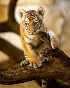 Tiger Cub by charles nolder on 500px