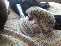 hedgehog and hair brush