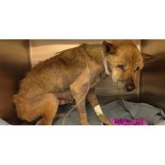 In early October, Emily was brought in nearly lifeless. When Emily arrived at the shelter, she was given just 24 hours to live and was thought to be paralyzed. The 7-year-old chow-mix could not lift her head, nor could she even stand up on her own. The skeletal dog would be humanely euthanized because of her pitiful state of health, unless a rescue organization stepped in.    That\'s when Dakota and Friends Rescue, hundreds of miles away in Michigan, came on in to save Emily. They im…