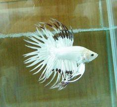 Pretty fish on pinterest betta fish and beautiful fish for Rare betta fish