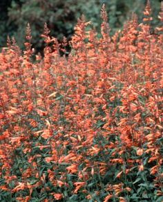 Agastache rupestris - hardy in zone 4 if heavily mulched. great for hummingbirds!