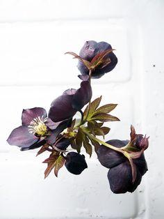 color, purple flowers, flower portland, wedding flowers, hellebor flower