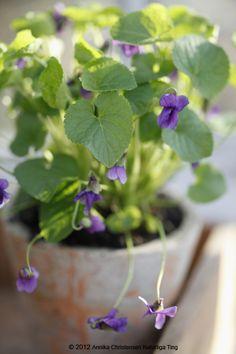 wild violets, sweet violet