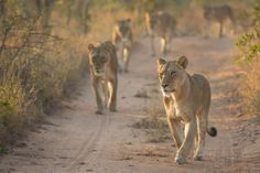 safari anim, mhangeni pride