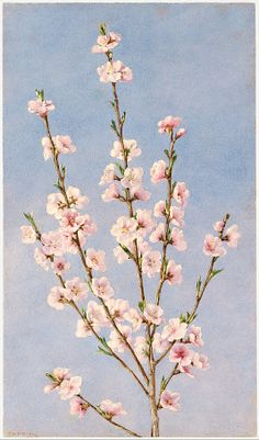 John William Hill (American (born England), 1812–1879). Peach Blossoms, 1874. The Metropolitan Museum of Art, New York. Gift of J. Henry Hill, 1882 (82.9.5) #spring