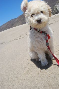 Olive the poodle puppy ... Dog Training Video Portal http://dogtrainingvideos...