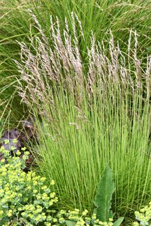 "Deschampsia caespitosa  ""Tufted Hair Grass""   meadow or under oaks"