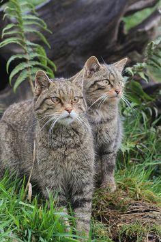 Scottish Wild Cat - Felis silvestris by AlexEamesWildlife Only about 400 left