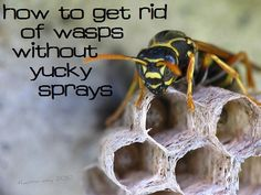 How to kill wasps and get rid of nests naturally - no chemical sprays :: via Kitchen Stewardship
