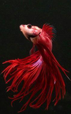 Red Siamese Betta Splendens fish.  #weddinginspiration #inspiration #dreamwedding #pretty #fashion #lasvegas  #wedding #red #board #pop #color #redfish