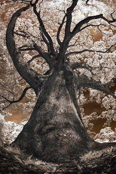 ✮ Giant White Oak