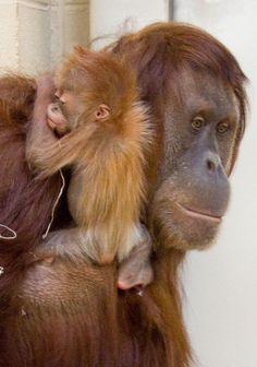 Baby Orangutan with Mom