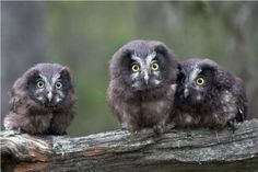 Fauna en el Parque Nacional de Ordesa y Monte Perdido. Lechuza de Tengmalm