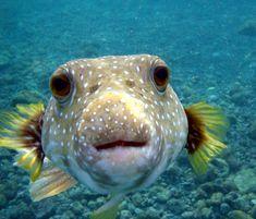 He's soo cute!!  A puffer fish :)