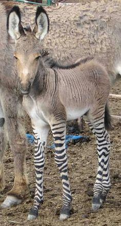 """A """"zonkey""""! Also known as a """"zedonk,"""" it's a zebra/donkey hybrid."""