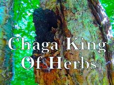 Chaga Mushroom Super Medicine Of This Age ∆ ∆ ∆ ♕ you tube. Long video. Very informative.