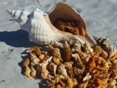 harvest of sanibel seashells