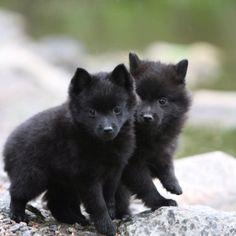Schipperke!!! Wanted one of these pups #Schipperke http://dogtrainingvideosonline.info