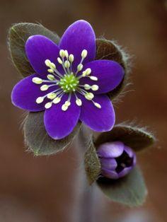 Hepatica and Bud, Lapeer, Michigan, USA  by Claudia Adams spring flowers, color, purple flowers, violet, spring blooms, flowers garden, may flowers, garden plants, hepatica