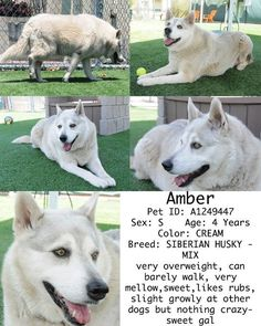 Orange, CA -- URGENT -- <3 AMBER ♥ A1249447 -- SHARE/PLEDGE ... FOSTER!!  Amber  Pet ID: A1249447  Sex: S  Age: 4 Years  Color: CREAM  Breed: SIBERIAN HUSKY - MIX  Kennel: 222  very overweight, can barely walk, very mellow,sweet,likes rubs, slight growly at other dogs but nothing crazy- sweet gal  OC Animal Care  714-935-6848  561 The City Drive South  Orange, CA 92868