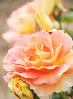 peach roses... plant, bouquet, pink roses, orang, color, peach rose, yellow roses, peaches, flowers garden