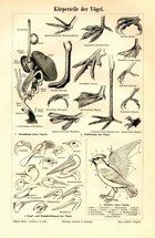 "bird anatomy german 1894 lithograph 6 x 9"" $25"