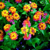 Lantana - perfect for the extreme heat and drought prone regions. Good perennial in the southern zones