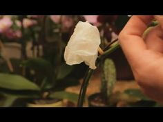 How To Care for Wilted Orchid Blooms http://www.ambius.com/blog/video-how-to-care-for-wilted-orchid-blooms/