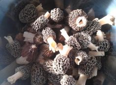 Come to a Morel mushroom hunting course, Spring Treasures in the Michigan Wood!  Click on the photo for all of the great details.  We hope to see you!