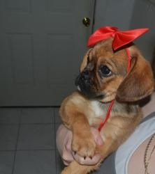 A puggle puppy in a hair bow. Is there anything sweeter? Gigi is with Pets in Need Rescue Team in Lincoln Park, NJ