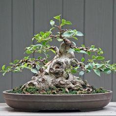 Amazing Zen-Inspiring Bonsai Trees