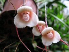 Grinning Monkey Orchids. These are Pepe's favorite flowers. He wants us to plant them all over the rooftop in pots so he can have lots of friends to boss around.