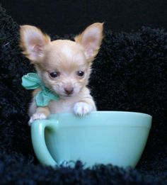 Chihuahua in a blue cup #dogs #animal #chihuahua
