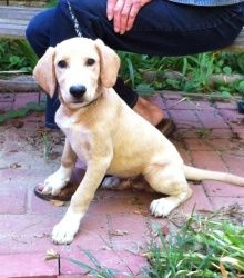 Tater is an adoptable Yellow Labrador Retriever Dog in Joliet, IL. This is Little Tater, He is around 5 to 6 months. He looks like a lab but is much better looking than most - his legs are a tad short...