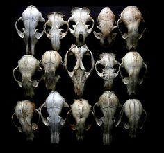 #animal #skulls