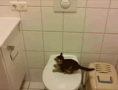 kitty cats, kitten gifs, toilet, baby kittens, bathrooms, poor kitti, gifs only, gif funny animals, cat videos