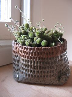 Monanthes polyphylla.  Cute plant, great pot!