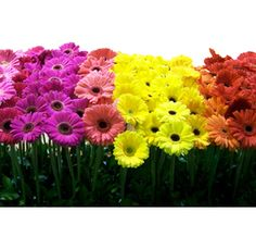gerber daisies, color burst, favorit flower, rainbows, gerbera daisi, wedding flowers, garden