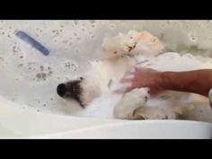 This pup really likes bath