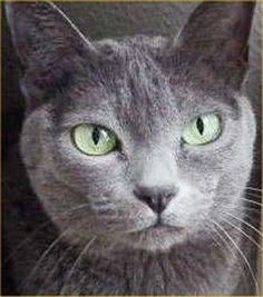 Korats are a slate blue-grey short-haired breed of domestic cat with a small to medium build and a low percentage of body fat. Their bodies are semi-cobby, and surprisingly heavy for their size...Among Korats' distinguishing characteristics are their heart-shaped heads and large green eyes