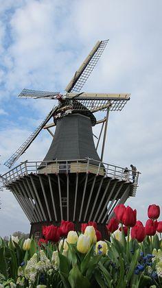 Tulip  Keukenhof Gardens, Netherlands.