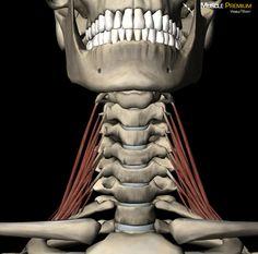 Learn Muscle Anatomy: Scalene Muscles